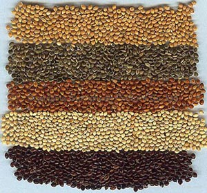 Chinese millet